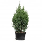 Juniperus chinensis 'Stricta'