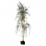 Salix alba Chrysocoma